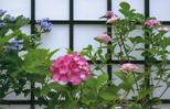 「アジサイの花」坂詰 金治郎(新潟県)