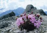「高嶺の花」五百蔵 実(岡山県)