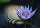 「水面に咲く」平野誠治(京都府)
