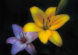 「百合の花」豊田康雄(宮崎県)