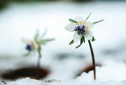 「雪中に咲く」植木 勤(長野県)
