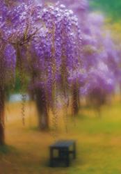 「藤の花咲く頃」小寺澤 啓司(兵庫県)