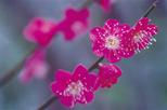 「花かんざし」巻島秀男(埼玉県)