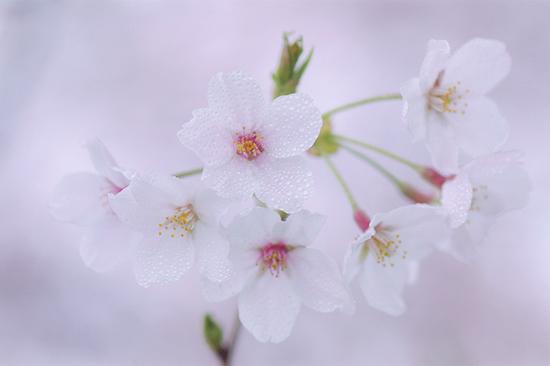 「淡い春」巻島秀男(埼玉県)
