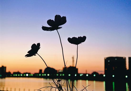 「夕暮れのコスモス」小林雅博(新潟県)